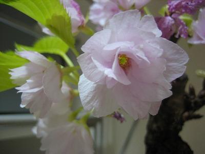 楽天で買った桜盆栽一才桜(旭山)信楽焼鉢植え