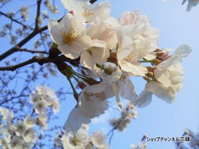 2014春 桜(ソメイヨシノ)