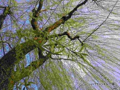 2014春 柳の新緑(シダレヤナギ)