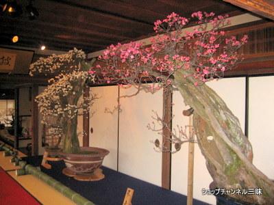 長浜盆梅展2009年