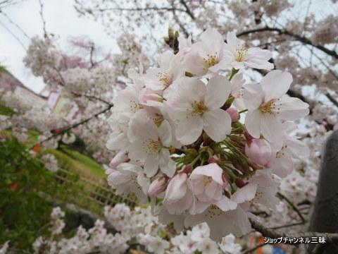 円山公園ソメイヨシノ2016春