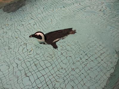 和歌山アドベンチャーワールドのペンギン