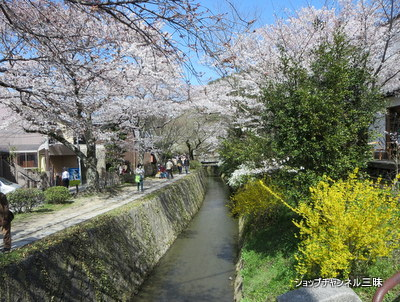 哲学の道の桜2014春
