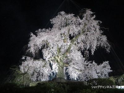 円山公園のしだれ桜2014春