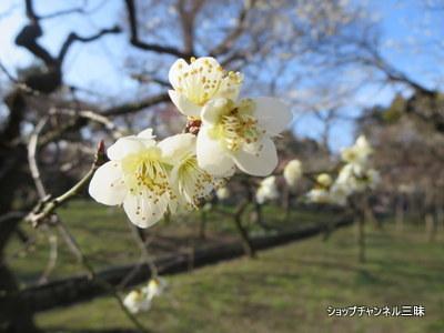 京都・北野天満宮の梅園にて2015年2月末